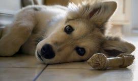 Close-up do cachorrinho Imagem de Stock Royalty Free
