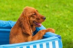 Close-up do cachorrinho do sabujo Foto de Stock Royalty Free