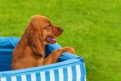 Close-up do cachorrinho do sabujo Imagens de Stock