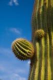 Close-up do cacto de Suguaro imagem de stock