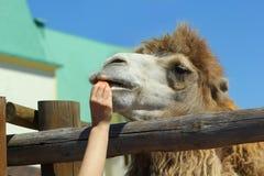 Close up do camelo de alimentação da mão do ` s da mulher com cenoura zoo imagem de stock
