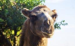Close-up do camelo, foto do retrato, fundo do bokeh fotografia de stock