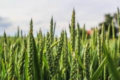Close up do campo de trigo Fotografia de Stock