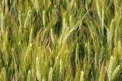 Close-up do campo de trigo imagens de stock