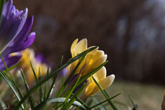 Close up do canteiro de flores do açafrão Fotografia de Stock Royalty Free