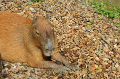 Close-up do Capybara Fotos de Stock Royalty Free