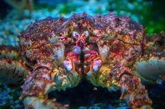Close-up do caranguejo de Kamchatka imagem de stock royalty free