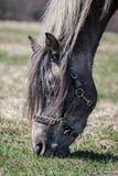 Close up do cavalo Fotos de Stock Royalty Free