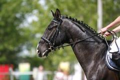 Close up do cavalo de salto da mostra durante a equitação da competição entre obstáculos Foto de Stock