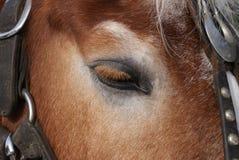 Close up do cavalo do olho e da cabeça por Peter J Restivo Fotos de Stock