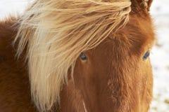 Close up do cavalo marrom em um dia do winther Fotos de Stock