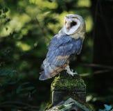Close up do celeiro Owl Raptor com iluminação traseira fotografia de stock