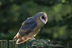 Close up do celeiro Owl Raptor com iluminação traseira foto de stock royalty free