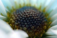 Close up do centro da flor da margarida imagens de stock