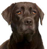 Close-up do chocolate Labrador, 4 anos velho Fotos de Stock