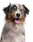 Close-up do cão de pastor australiano, o 1 anos de idade Foto de Stock Royalty Free