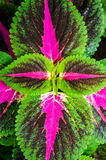 Close up do Coleus Imagem de Stock