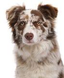 Close-up do Collie de beira vermelho de Merle Imagens de Stock