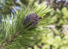 Close-up do cone do cedro em um ramo de árvore no verão imagem de stock royalty free