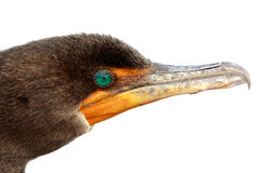 Close up do Cormorant Foto de Stock Royalty Free