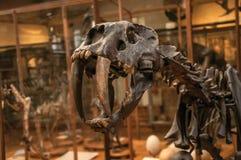 Close-up do crânio de Smilodon no salão na galeria da paleontologia e da anatomia comparativa em Paris foto de stock