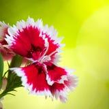 Close up do cravo-da-índia Imagem de Stock Royalty Free