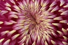 Close up do crisântemo Imagem de Stock