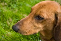 Close-up do Dachshund Imagem de Stock Royalty Free