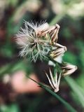 Close-up do dente-de-leão contra o fundo borrado fotos de stock