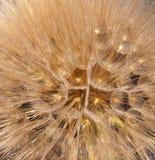 Close up do dente-de-leão da semente Fotos de Stock Royalty Free