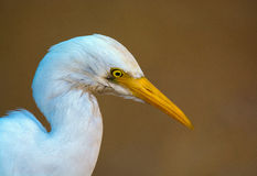Close up do Egret de gado Fotos de Stock