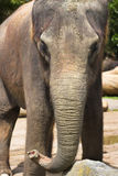 Close-up do elefante Fotografia de Stock Royalty Free