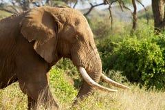Close up do elefante africano masculino foto de stock