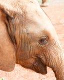Close-up do elefante novo Fotografia de Stock Royalty Free
