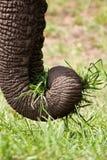 Close-up do elefante que come a grama verde foto de stock royalty free