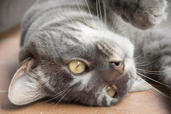 Close-up do encontro do gato doméstico de cabeça para baixo Imagens de Stock