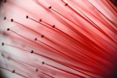 Close up do estame de Callistemon foto de stock