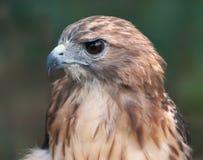 Close-up do falcão fotografia de stock
