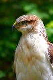 Close-up do falcão imagem de stock