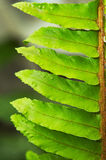 Close up do Fern Foto de Stock Royalty Free