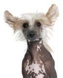 Close-up do filhote de cachorro com crista chinês Foto de Stock Royalty Free