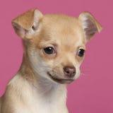 Close-up do filhote de cachorro da chihuahua, 2 meses velho Imagens de Stock Royalty Free