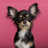 Close-up do filhote de cachorro da chihuahua, 6 meses velho Imagens de Stock Royalty Free