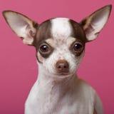 Close-up do filhote de cachorro da chihuahua, 6 meses velho Imagens de Stock