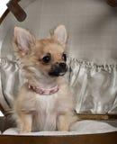 Close-up do filhote de cachorro da chihuahua, 6 meses velho Fotografia de Stock