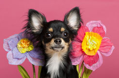Close-up do filhote de cachorro da chihuahua com flores foto de stock royalty free