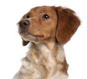 Close-up do filhote de cachorro de Brittany Fotografia de Stock Royalty Free