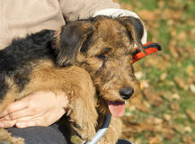 Close-up do filhote de cachorro do Airedale Fotografia de Stock