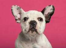 Close-up do filhote de cachorro do buldogue francês, 4 meses velho Fotografia de Stock