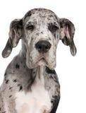 Close-up do filhote de cachorro do grande dinamarquês, 3 meses velho Fotos de Stock Royalty Free